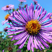 Wild Purple Aster Poster by Christina Rollo