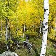 Yellow Aspens Poster by Baywest Imaging