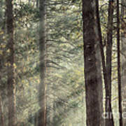 Yosemite Pines In Sunlight Poster by Jane Rix