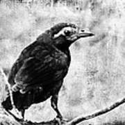 Young Grackle Poster by Cassie Peters