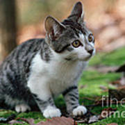 Young Manx Cat Poster by James L. Amos