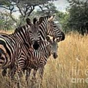 Zebra Family Poster by David Gardener