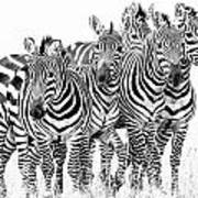 Zebra Quintet Poster by Mike Gaudaur