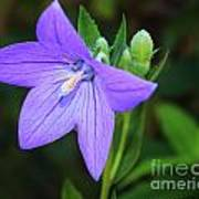August Balloon Flower Poster by Marjorie Imbeau