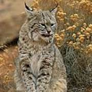 A Bobcat Poster by Norbert Rosing