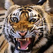 Bengal Tiger (panthera Tigris) Poster by Louise Murray