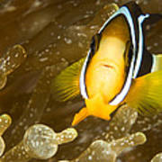 Clarks Anemonefish Among An Anemones Poster by Tim Laman