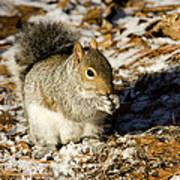 Eastern Gray Squirrel Sciurus Poster by Tim Laman