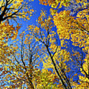 Fall Maple Trees Poster by Elena Elisseeva