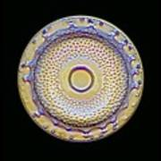 Fossil Diatom, Light Micrograph Poster by Frank Fox