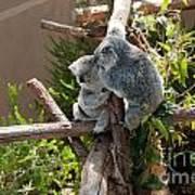 Koala Poster by Carol Ailles