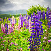 Lupins In Newfoundland Meadow Poster by Elena Elisseeva
