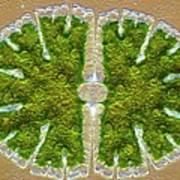 Microsterias Green Alga, Light Micrograph Poster by Frank Fox
