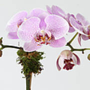 The Branch Of A Flowering Orchid Poster by Nicholas Eveleigh