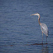 1206-9280 Great Blue Heron 1 Poster by Randy Forrester