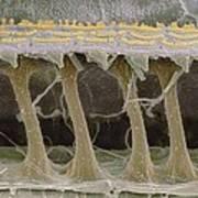 Inner Ear Hair Cells, Sem Poster by Steve Gschmeissner
