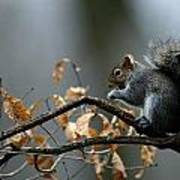 An Eastern Gray Squirrel Sciurus Poster by Chris Johns