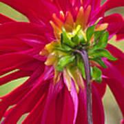 Dahlia (dahlia Cultorum) Poster by Dr. Nick Kurzenko
