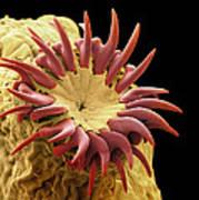 Dog Tapeworm Head, Sem Poster by Steve Gschmeissner