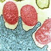 Helicobacter Pylori Bacteria, Tem Poster by