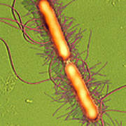 Proteus Vulgaris Bacteria, Sem Poster by Thomas Deerinck, Ncmir