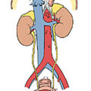 Illustration Of Female Urinary System Poster by Science Source