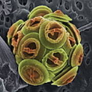Calcareous Phytoplankton, Sem Poster by Steve Gschmeissner