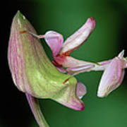 Orchid Mantis Hymenopus Coronatus Poster by Thomas Marent