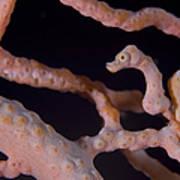 Pygmy Seahorse On Sea Fan, Papua New Poster by Steve Jones