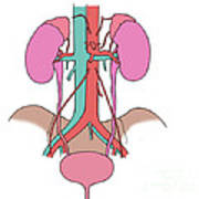 Illustration Of Urinary System Poster by Science Source