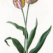 5 Tulip Tulip  Poster by Georg Dionysius Ehret