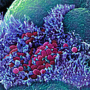 E. Coli Bacteria, Sem Poster by Stephanie Schuller