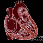 Illustration Of Heart Anatomy Poster by Science Source