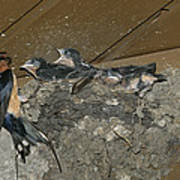 A Barn Swallow Mother Feeds Her Young Poster by Norbert Rosing