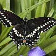 A Black Swallowtail Butterfly, Papilio Poster by George Grall