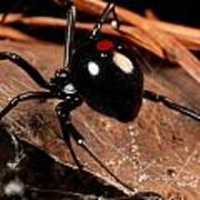 A Black Widow Spider Latrodectus Poster by George Grall