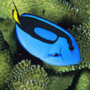 A Bright Blue Palette Surgeonfish Poster by Tim Laman