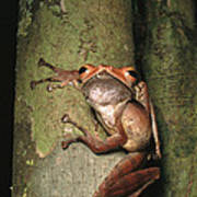 A Collets Tree Frog Rhacophorus Colleti Poster by Tim Laman