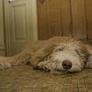 A Dog Lies On A Linoleum Floor Poster by Joel Sartore