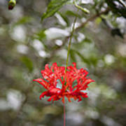 A Hibiscus Schizopetalus Flowers Poster by Taylor S. Kennedy