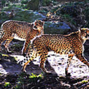 A Pair Of Cheetah's Poster by Bill Cannon