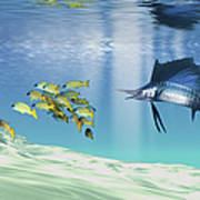 A Sailfish Hunts Prey On A Sandy Reef Poster by Corey Ford