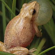 A Spring Peeper Calls For A Mate Poster by George Grall