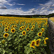 A Sunny Sunflower Day Poster by Debra and Dave Vanderlaan