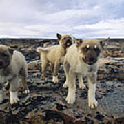 A Trio Of Growling Husky Puppies Poster by Paul Nicklen