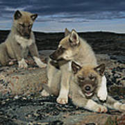 A Trio Of Playful Husky Puppies Poster by Paul Nicklen