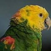 A Yellow-headed Amazon Parrots Amazona Poster by Joel Sartore