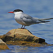Adult Common Tern Poster by Tony Beck