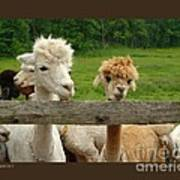 Alpacas-i Poster by Patricia Overmoyer