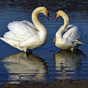 Alpha Swan Poster by Brian Stevens